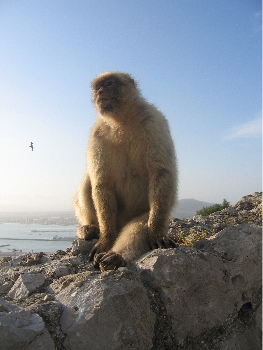 Macaque in regal pose
